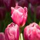 Pink tulips in the garden-15 - PhotoDune Item for Sale