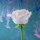 Colorful Drops Falling on a Beautiful Rose Against Blue Background. - VideoHive Item for Sale