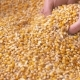 Corn Grains Falling Down in Corn Sack Form Farmer's Hand. - VideoHive Item for Sale