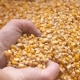 Corn Grains in Farmer Hands - VideoHive Item for Sale