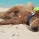 Cute Dog Lying on Sand on Sea Beach - VideoHive Item for Sale