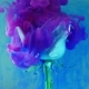 Colorful Drop Falling on a Beautiful Rose Against Blue Background - VideoHive Item for Sale