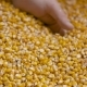 Corn Grains in Farmer Hands. - VideoHive Item for Sale