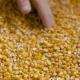 Corn Grains in Farmer Hands - VideoHive Item for Sale