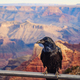 Scenic view of Grand canyon with black raven in foreground, USA - PhotoDune Item for Sale