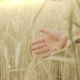 Girls Hand Touching Wheat - VideoHive Item for Sale