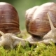 Helix Pomatia Also Roman Snail, Burgundy Snail - VideoHive Item for Sale