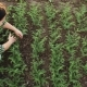 Female Farmer Weeds a Plantation of Young Chickpeas - VideoHive Item for Sale