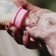 Hand Feeding Baby Pig - VideoHive Item for Sale