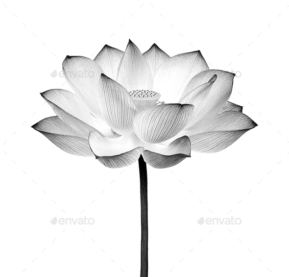 lotus flower black and white isolated on white background - Stock Photo - Images