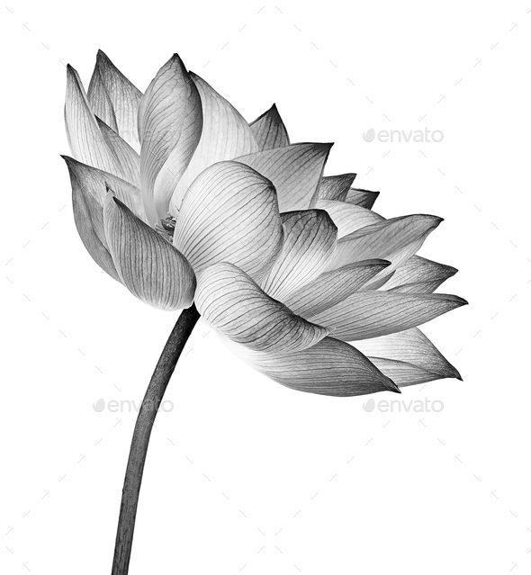 lotus flower isolated on white background - Stock Photo - Images