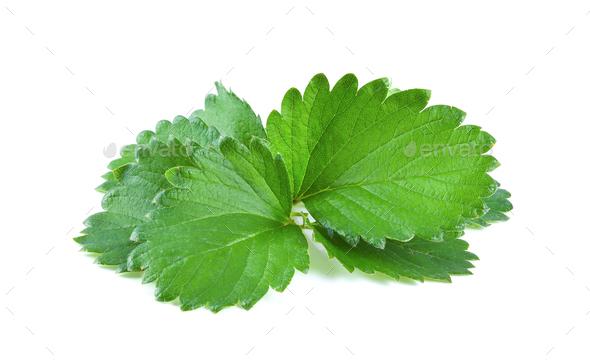 leaf isolated on white background - Stock Photo - Images