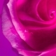 Top View of a Beautiful Rose in Spreading Paint - VideoHive Item for Sale