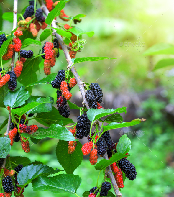Fresh mulberry, black ripe and red unripe mulberries in farm - Stock Photo - Images