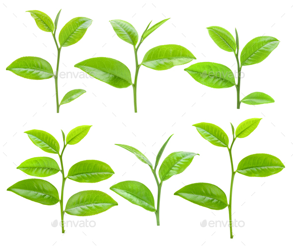 Young tea leaves isolated on white background - Stock Photo - Images