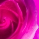 Beautiful Rose in Spreading Paint - VideoHive Item for Sale