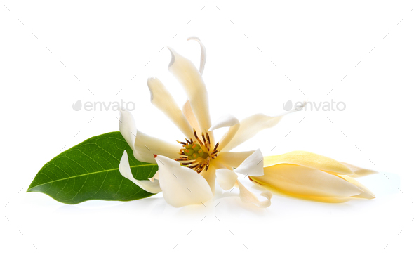 White Champaka isolated on white background - Stock Photo - Images