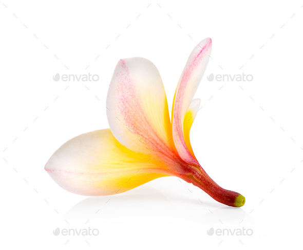 frangipani isolated on white background - Stock Photo - Images