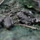 Many Small Frogs in a Pond - VideoHive Item for Sale