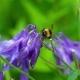 Bumblebee on Aquilegia Flower - VideoHive Item for Sale