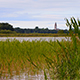 Green Reed in a Lake During a Windy Day - VideoHive Item for Sale