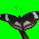 Butterfly Hypolimnus Bolina - VideoHive Item for Sale