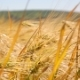 Yellow Spike  in the Field, Swinging Wind. The Harvest of Wheat - VideoHive Item for Sale