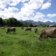 Cow Pasture on the Alps - VideoHive Item for Sale