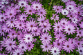 Beautiful violet daisy flowers in spring - PhotoDune Item for Sale