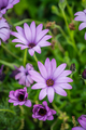 Beautiful violet daisy flowers - PhotoDune Item for Sale