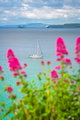 Pink flowers on the Cornish coast - PhotoDune Item for Sale