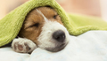 Dog grooming - Jack Russell puppy dog sleeping after bath - PhotoDune Item for Sale