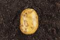 Fresh Potato On The Soil  - PhotoDune Item for Sale