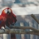 A Pair of Macaw Parrots - VideoHive Item for Sale