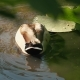 Caring Duck with Ducklings for a Walk in the Zoo Floats in the Water of the Pond. Harmony of Nature - VideoHive Item for Sale