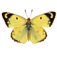 Pale clouded yellow butterfly, isolated on white background - PhotoDune Item for Sale