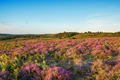 Summer Heather in the New Forest - PhotoDune Item for Sale