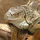 Iguana - VideoHive Item for Sale