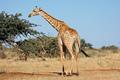 Giraffe in natural habitat - PhotoDune Item for Sale