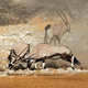 Fighting gemsbok antelopes - PhotoDune Item for Sale