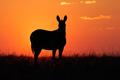 Mountain zebra silhouette - PhotoDune Item for Sale