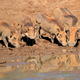 Warthogs drinking water - PhotoDune Item for Sale