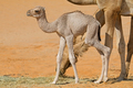 Newborn camel calf - PhotoDune Item for Sale