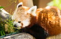 Red Panda Pulls Leaves in Closer to Feed On - PhotoDune Item for Sale
