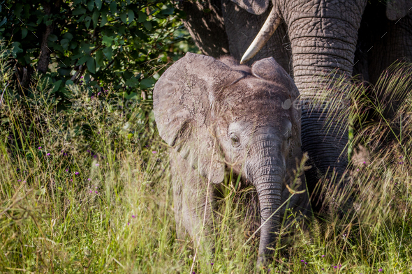 Baby Elephant in between the high grass. - Stock Photo - Images