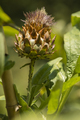Artichoke flower on cultivated plant field. - PhotoDune Item for Sale