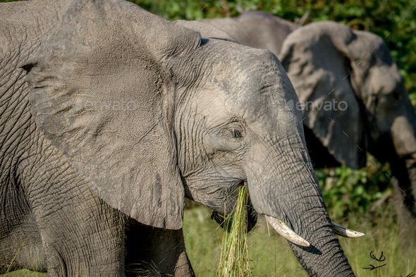 Elephant eating grass in Chobe. - Stock Photo - Images