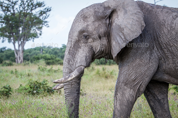 Side profile of an Elephant in Chobe. - Stock Photo - Images