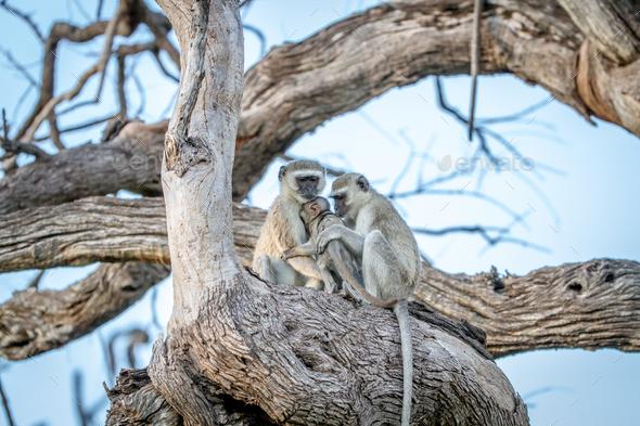 Family of Vervet monkeys sitting in a tree. - Stock Photo - Images