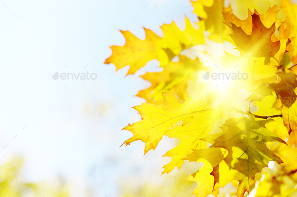 Yellow and Red maple leaves during fall season against sunny blu - Stock Photo - Images